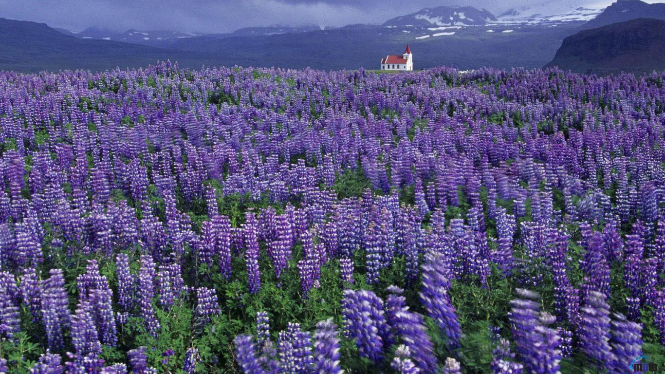 Download Wallpaper Lavender Field 1366 x 768 Desktop wallpapers and 1366x768