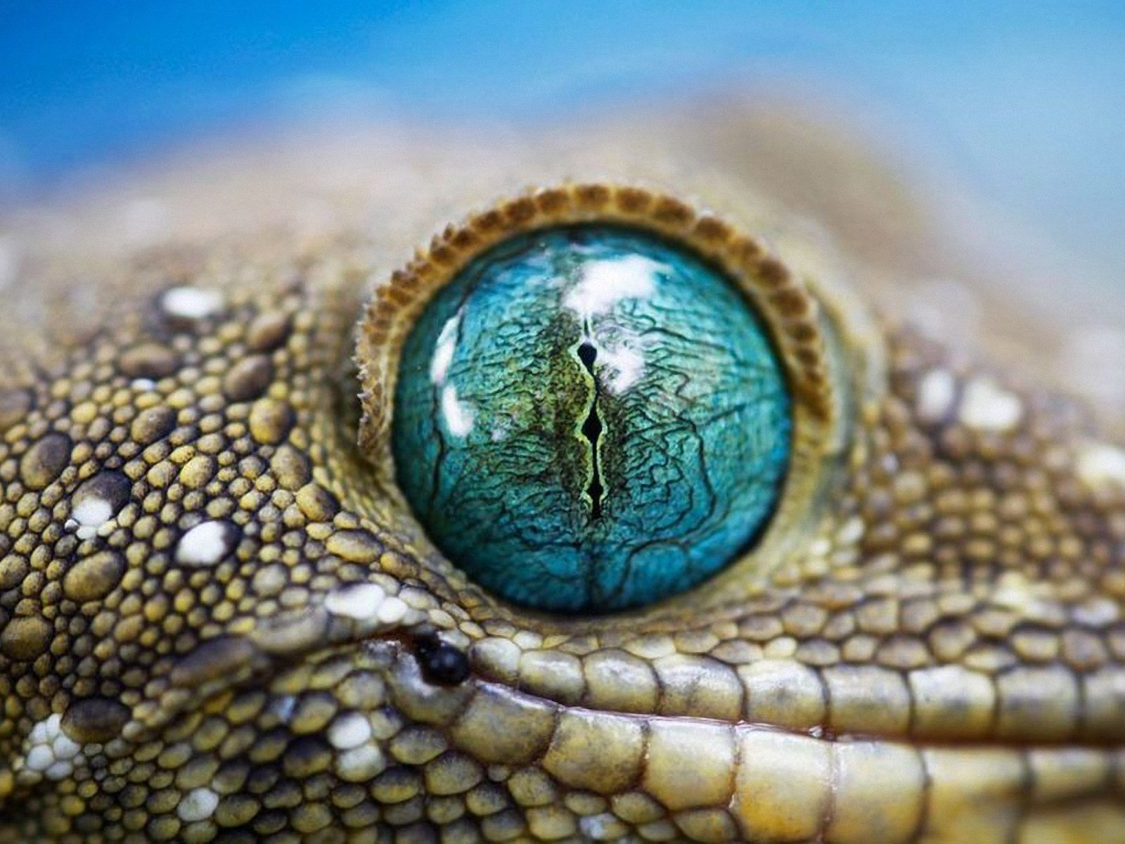 Snake Eye WallpapersNational Geographic Wallpapers Pictures 1600x1200
