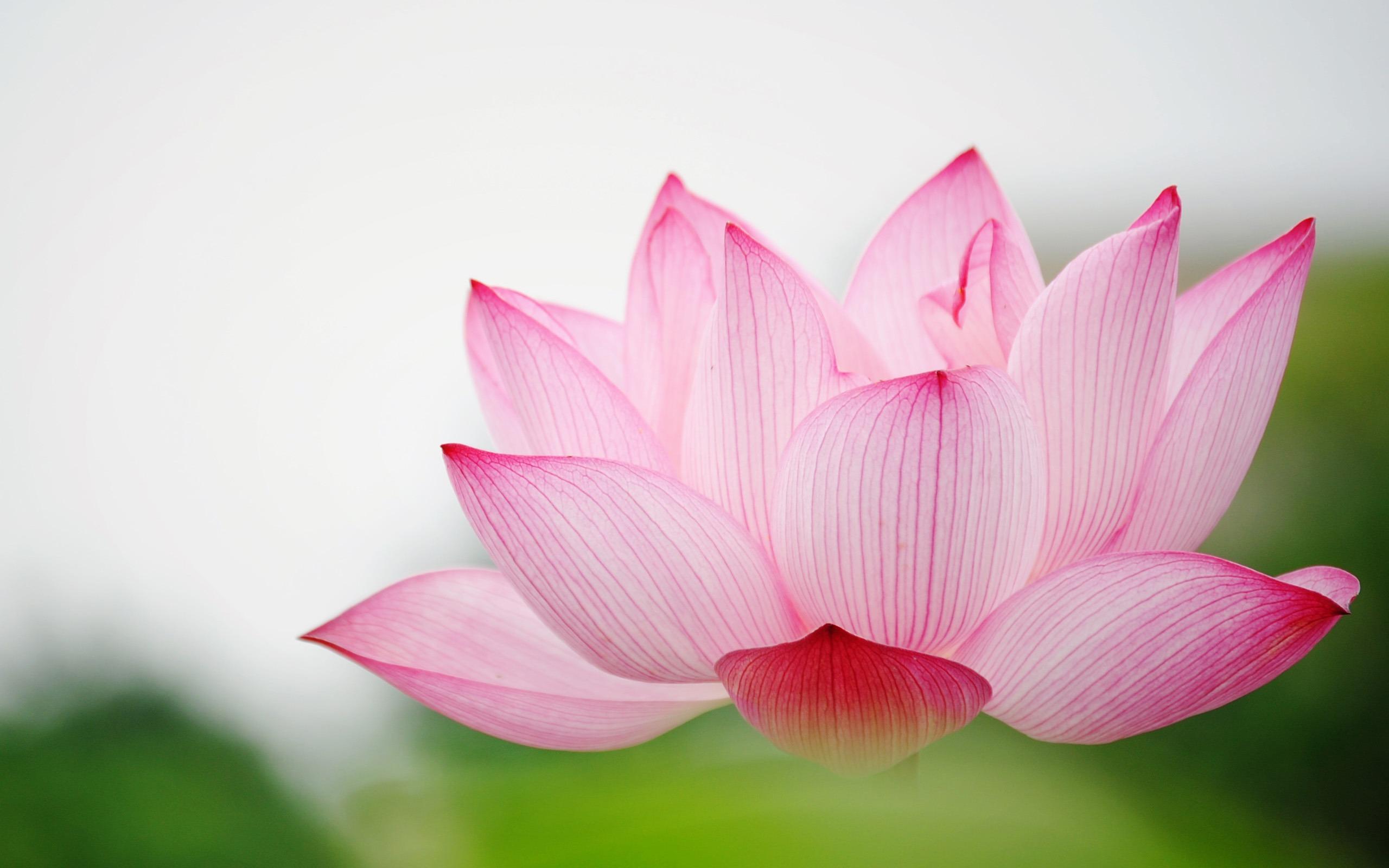 flower garden love pink lily lotus hd wallpaper wallpaper background ...