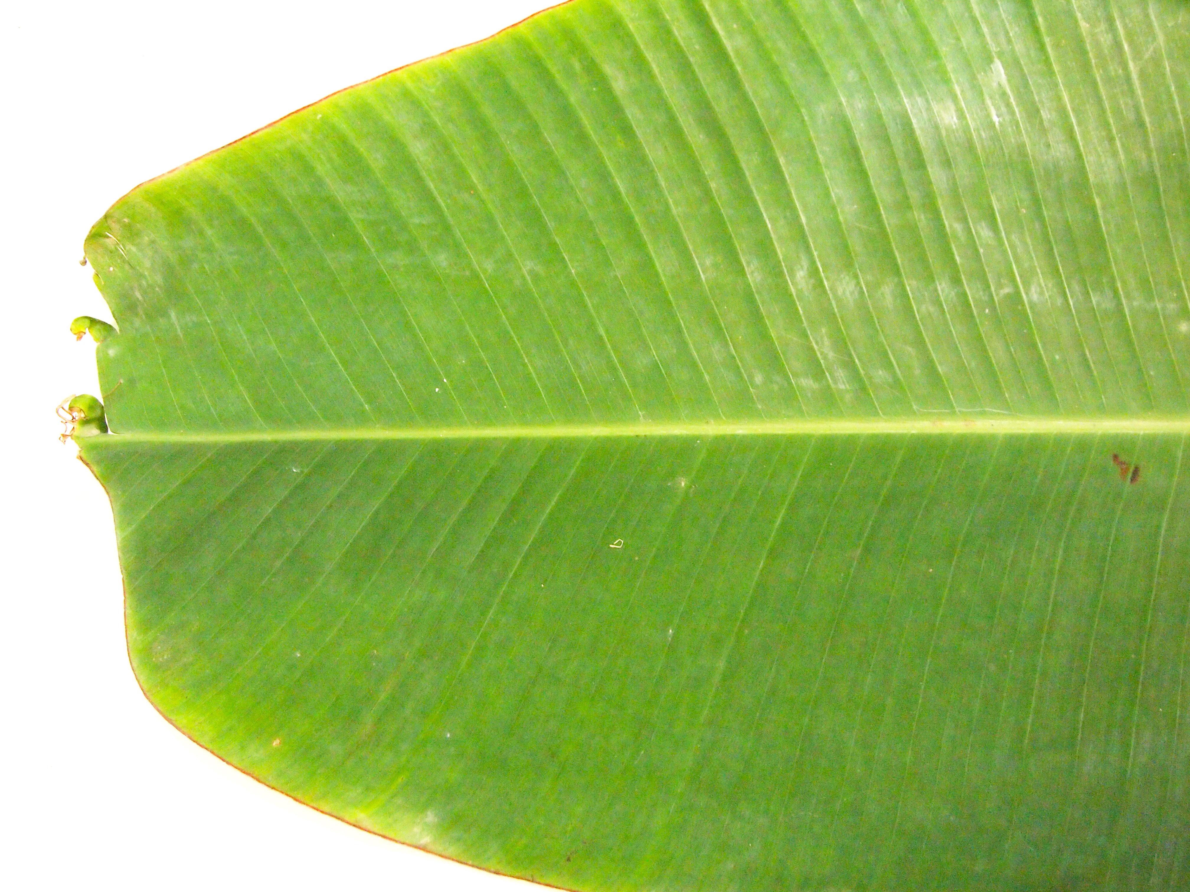 Banana Leaf Texture Quot 4032x3024