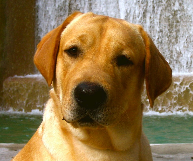 Yellow Lab image 800x668
