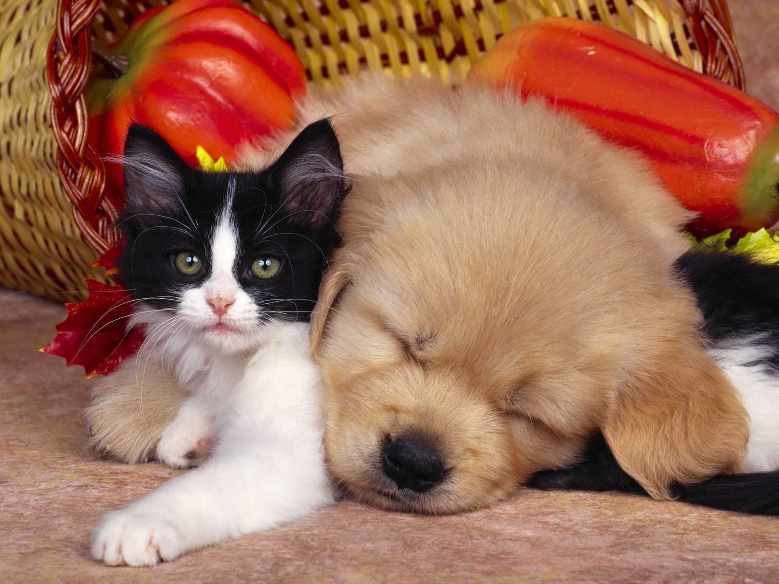 Oh Dea Cat and dog wallpapers 1600x1200