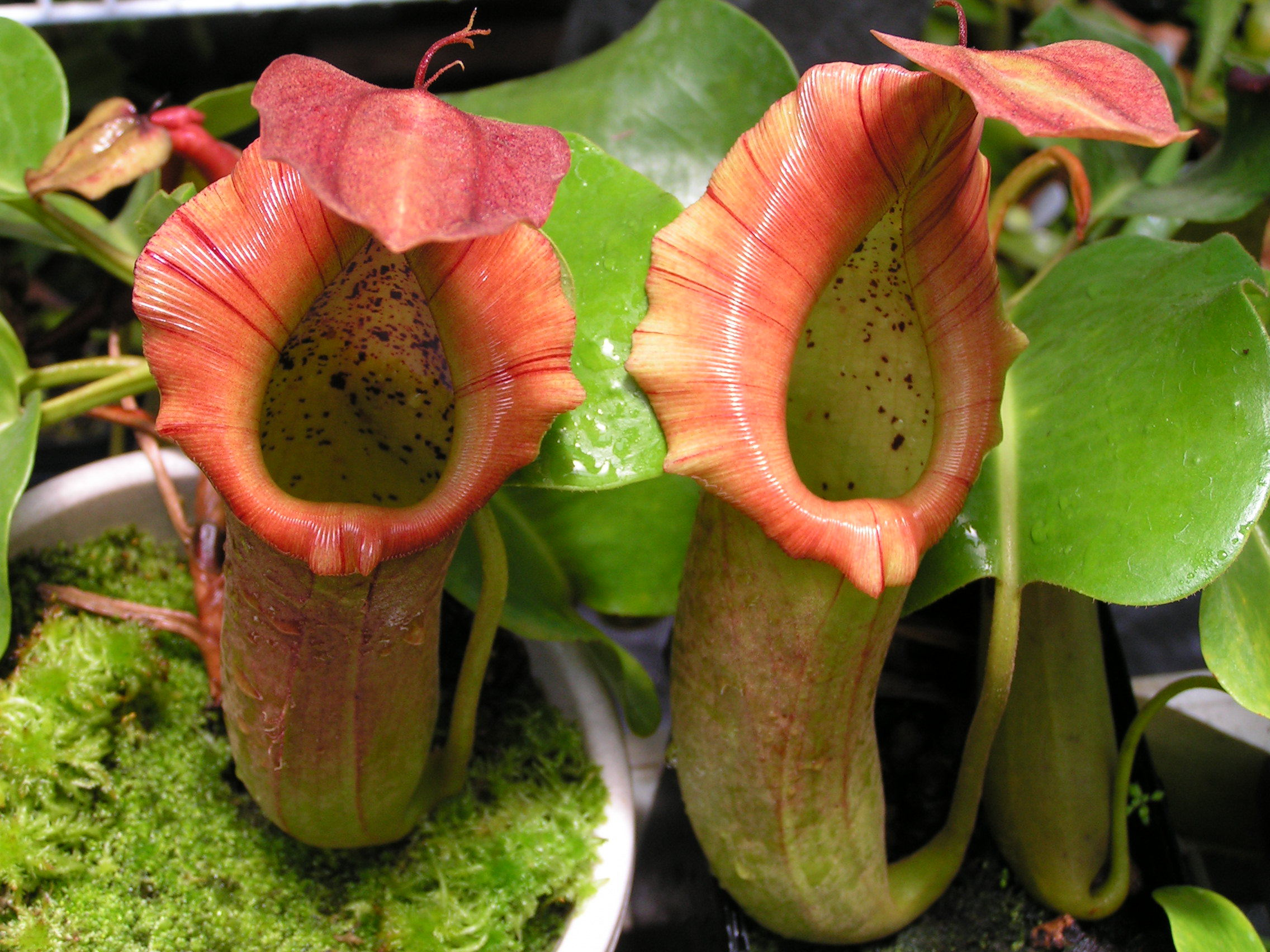 Nepenthes Tenax Wallpapers Images Photos Pictures Backgrounds 2272x1704