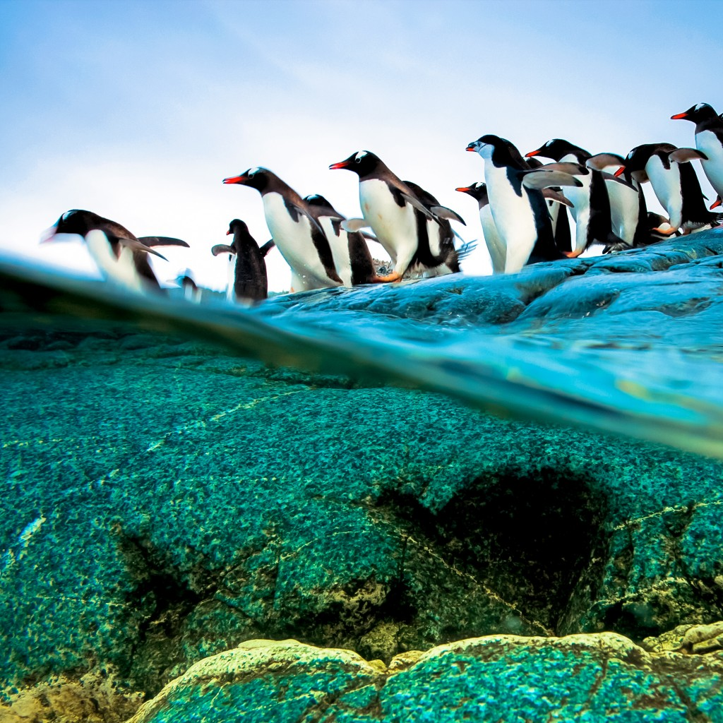 Diving Penguins Beautiful Retina iPad Wallpapers 1024x1024