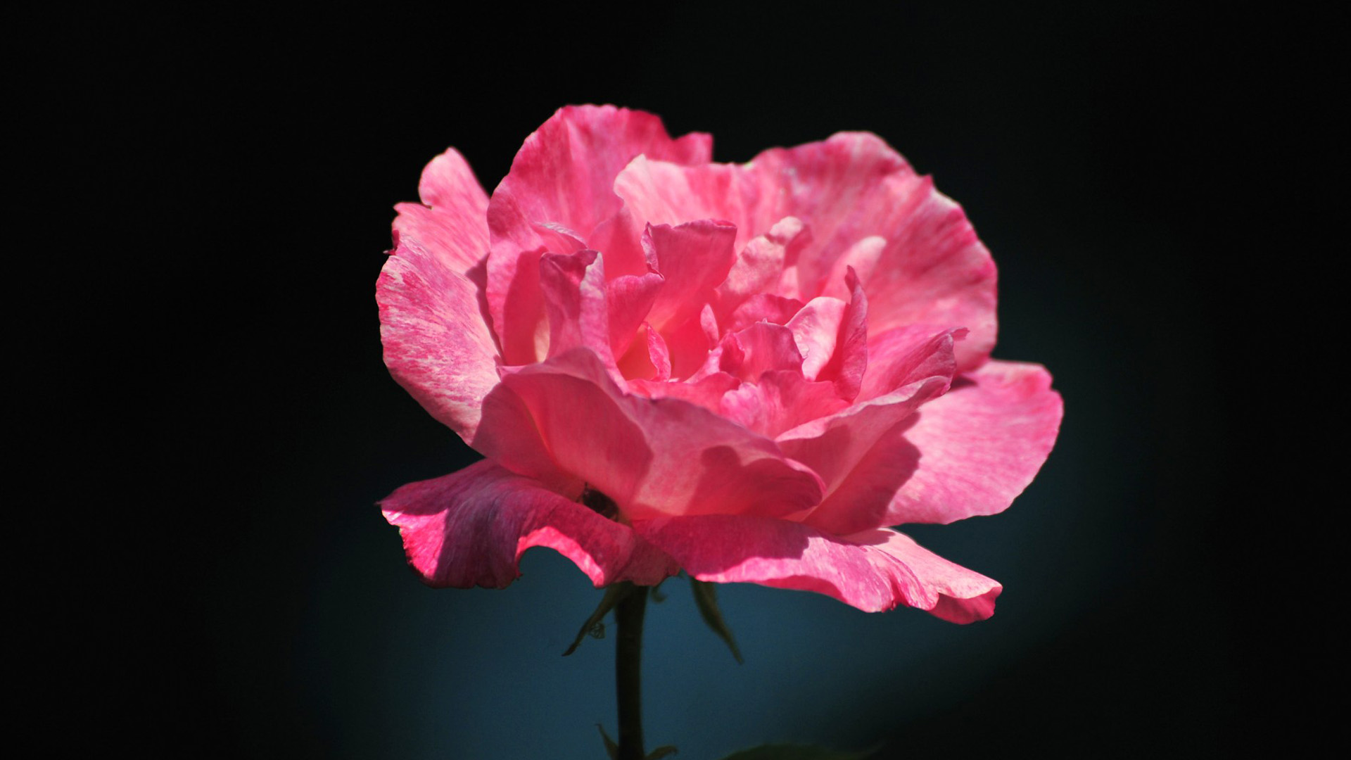 45] Pink and Black Rose Wallpaper on WallpaperSafari 1920x1080