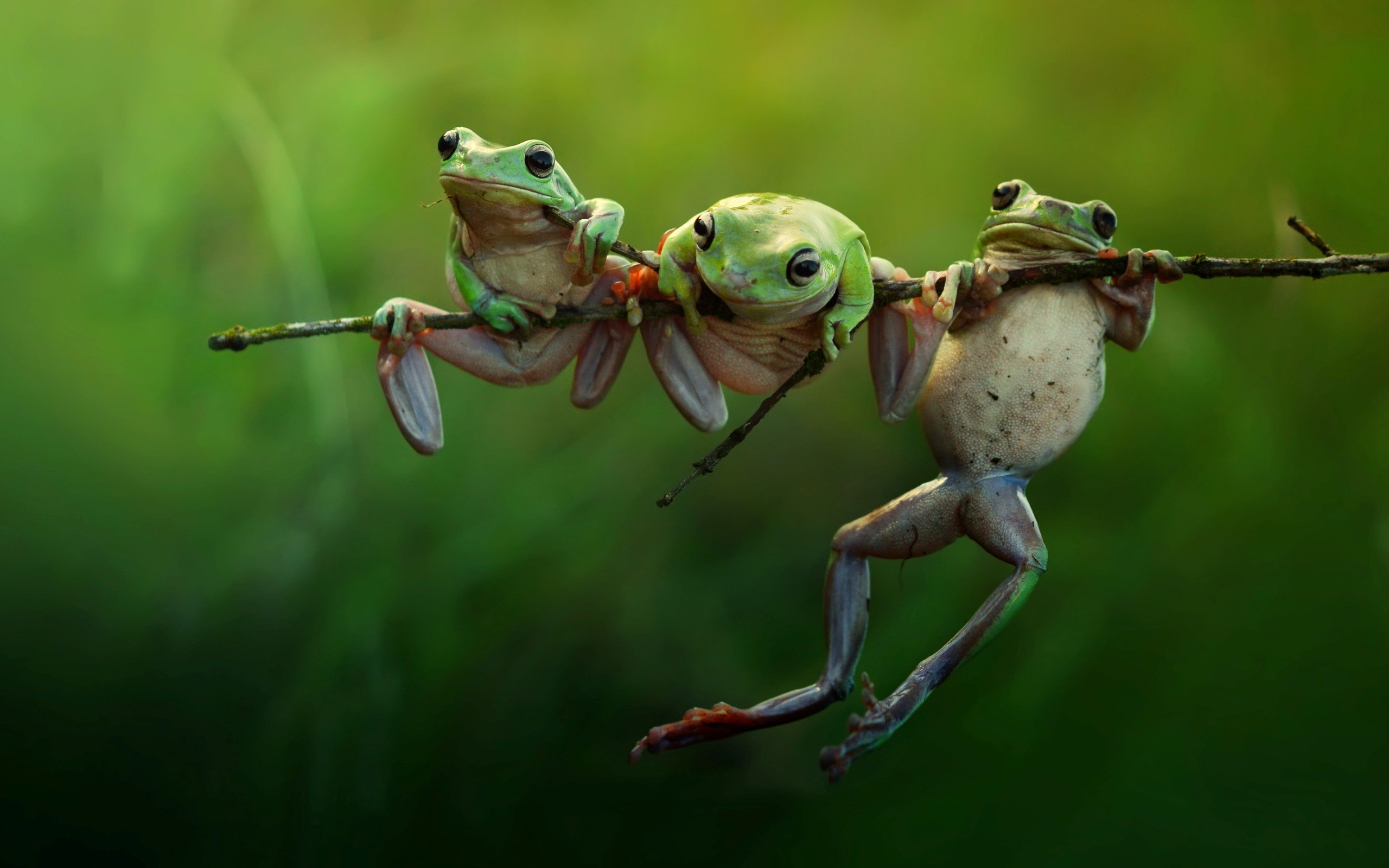 Frogs Animals Nature Amphibians wallpaper Gallery 2560x1600
