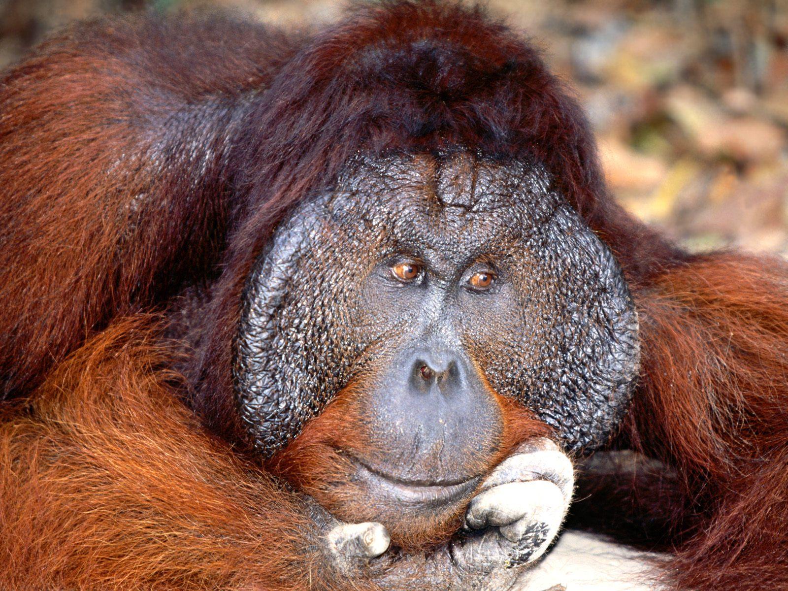 NameHow To Get Rid Of Recession Animals Bornean Orangutan Pictures 1600x1200