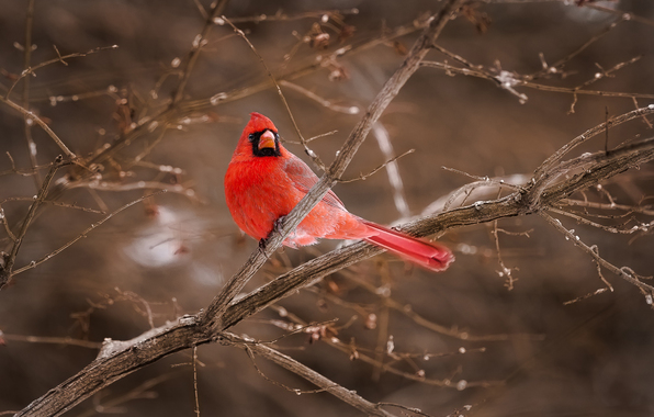 Wallpaper bird red cardinal branches wallpapers animals   download 596x380