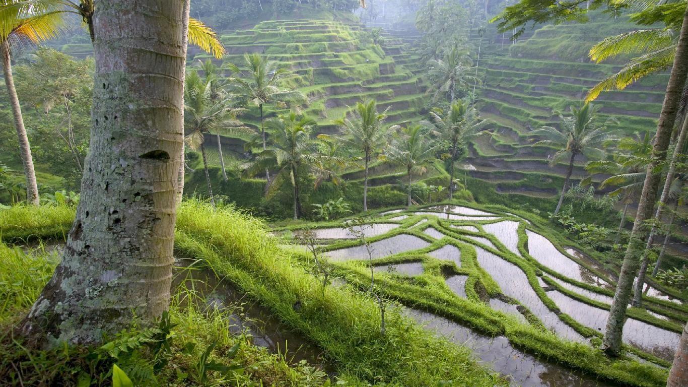 Rice Fields Bali Indonesia Wallpapers   Top Rice Fields Bali 1366x768