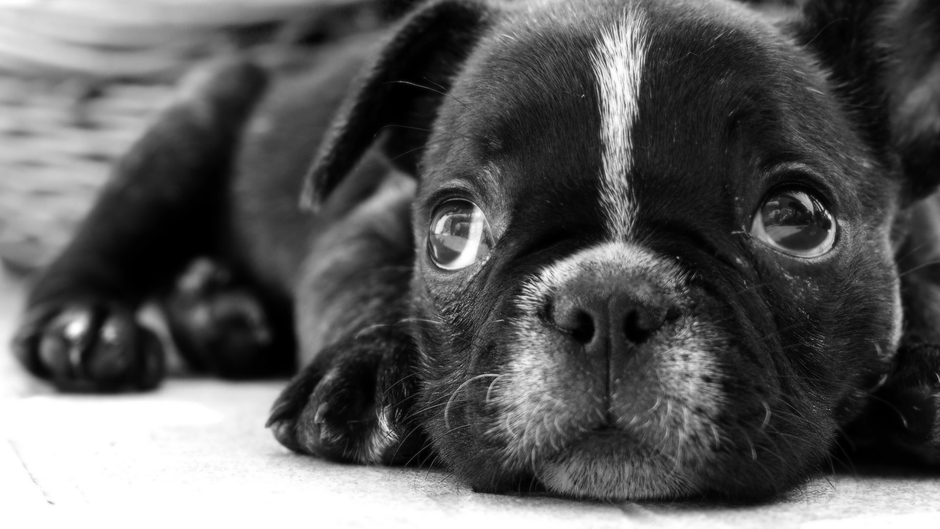 White And Black Dogs Wallpapers posted by Sarah Tremblay 1920x1080
