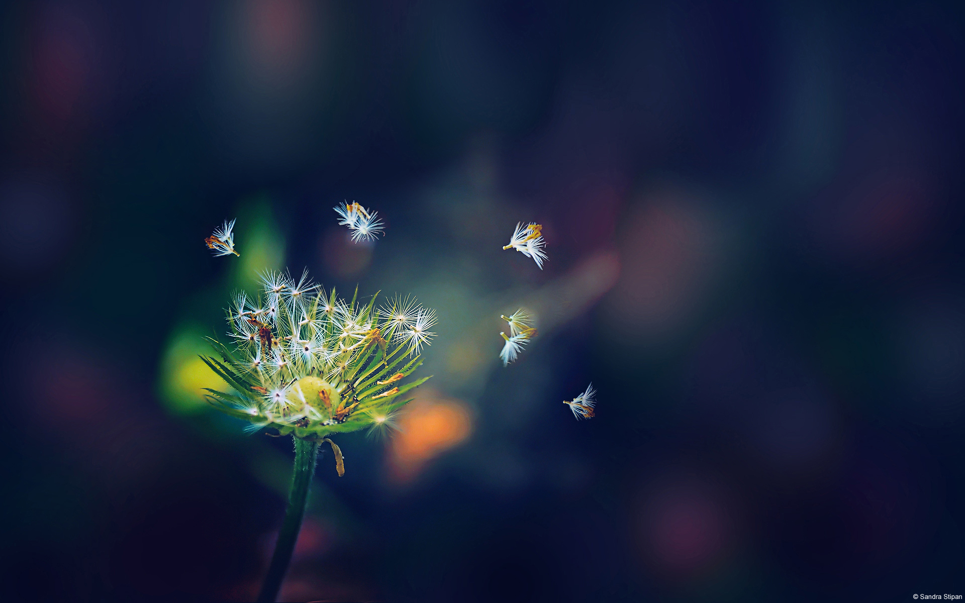 Dandelion Flies Wallpapers | HD Wallpapers