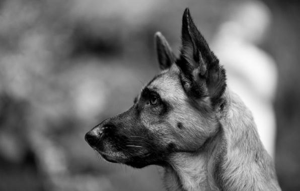 Wallpaper dog german shepherd look black and white wallpapers dog 596x380