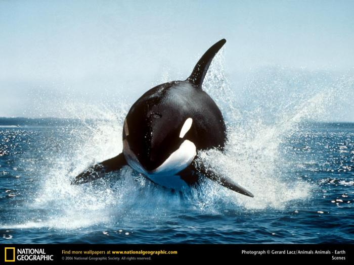 National Geographic Killer Whale Breaching Wallpaper   Download 700x525
