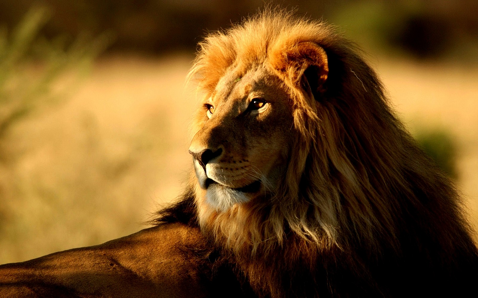 cool lion pictures wallpaper cool lion pictures cool lion wallpapers 1600x1000