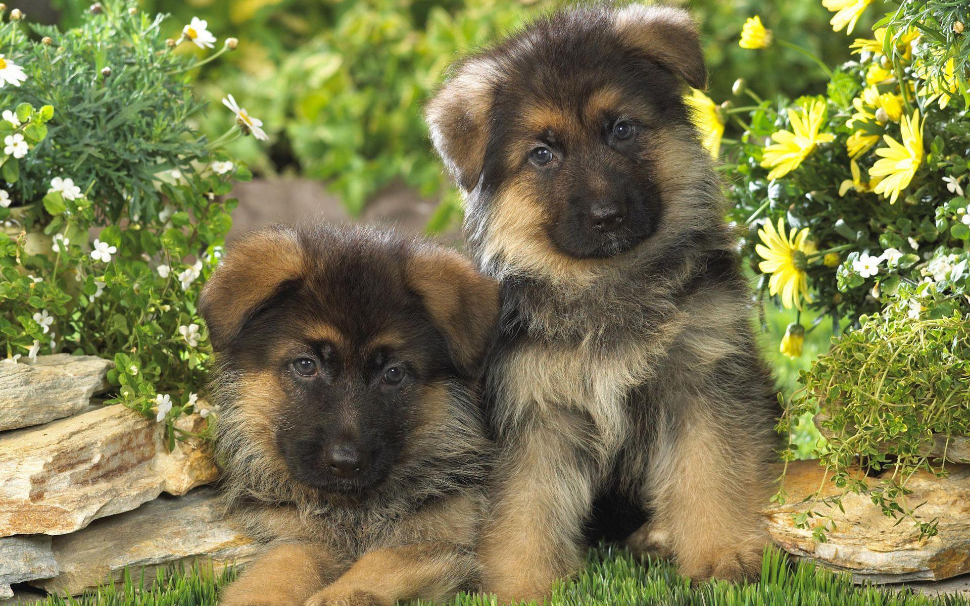 German Shepherd puppies wallpaper   1082828 1920x1200