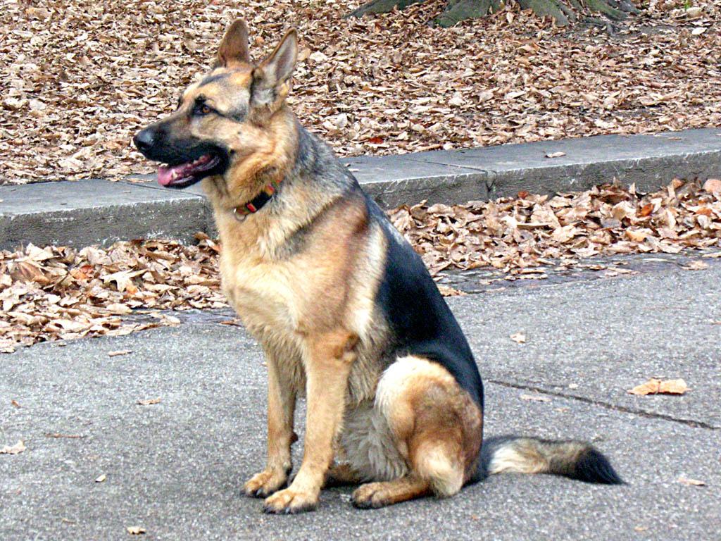 HD German Shepherd Dog HD Wallpaper 1024x768