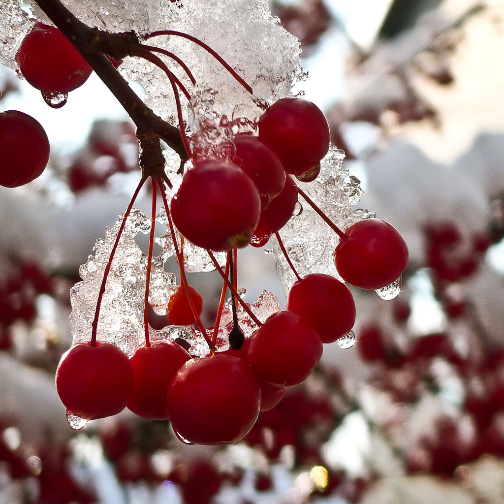 Winter Berries Wallpaper - WallpaperSafari