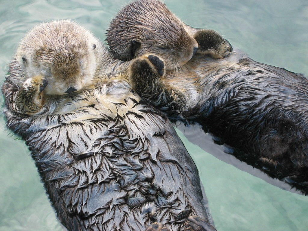 Cute Sea Otter Pup Wallpaper Images Pictures   Becuo 1024x768