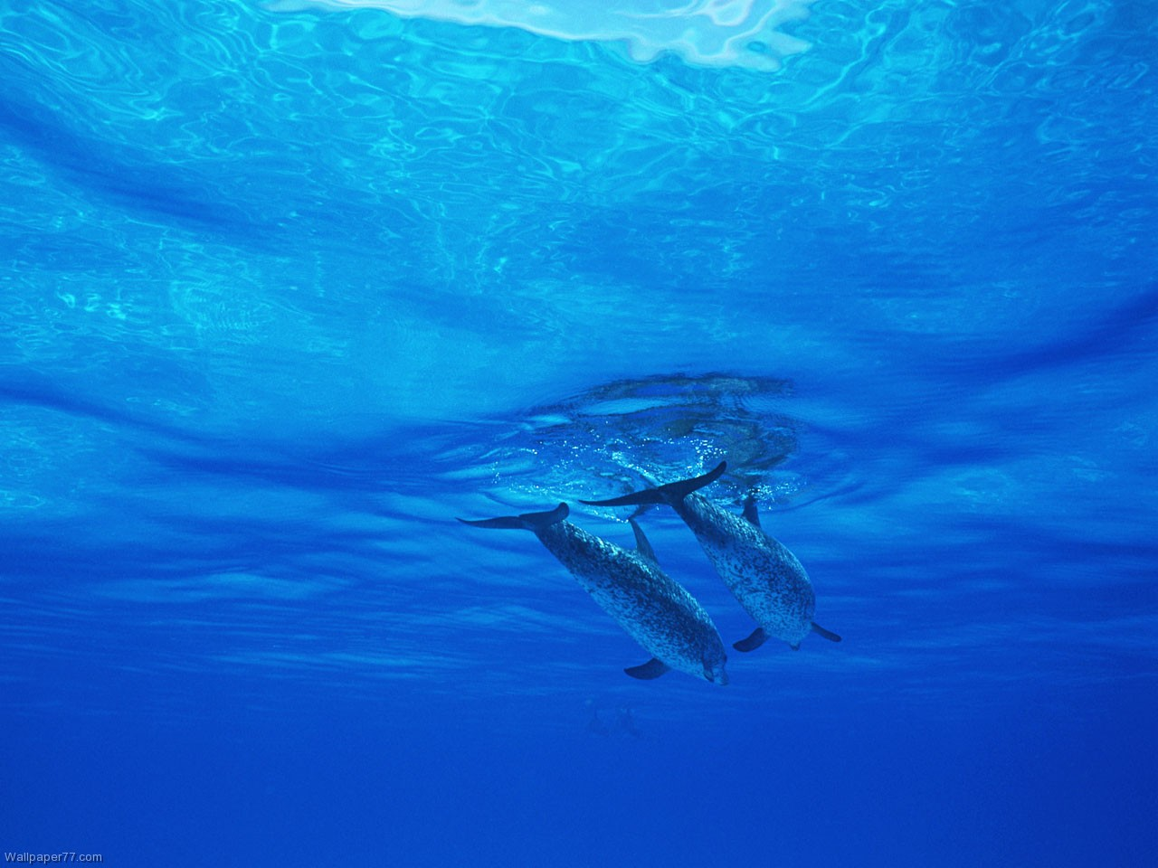 Dolphin Brothers 1280x960 pixels Wallpapers tagged Mammal Wallpaper 1280x960