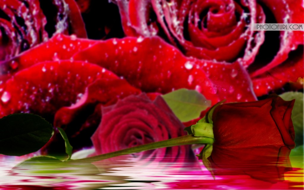 Most Beautiful Rose Flowers Wallpapers