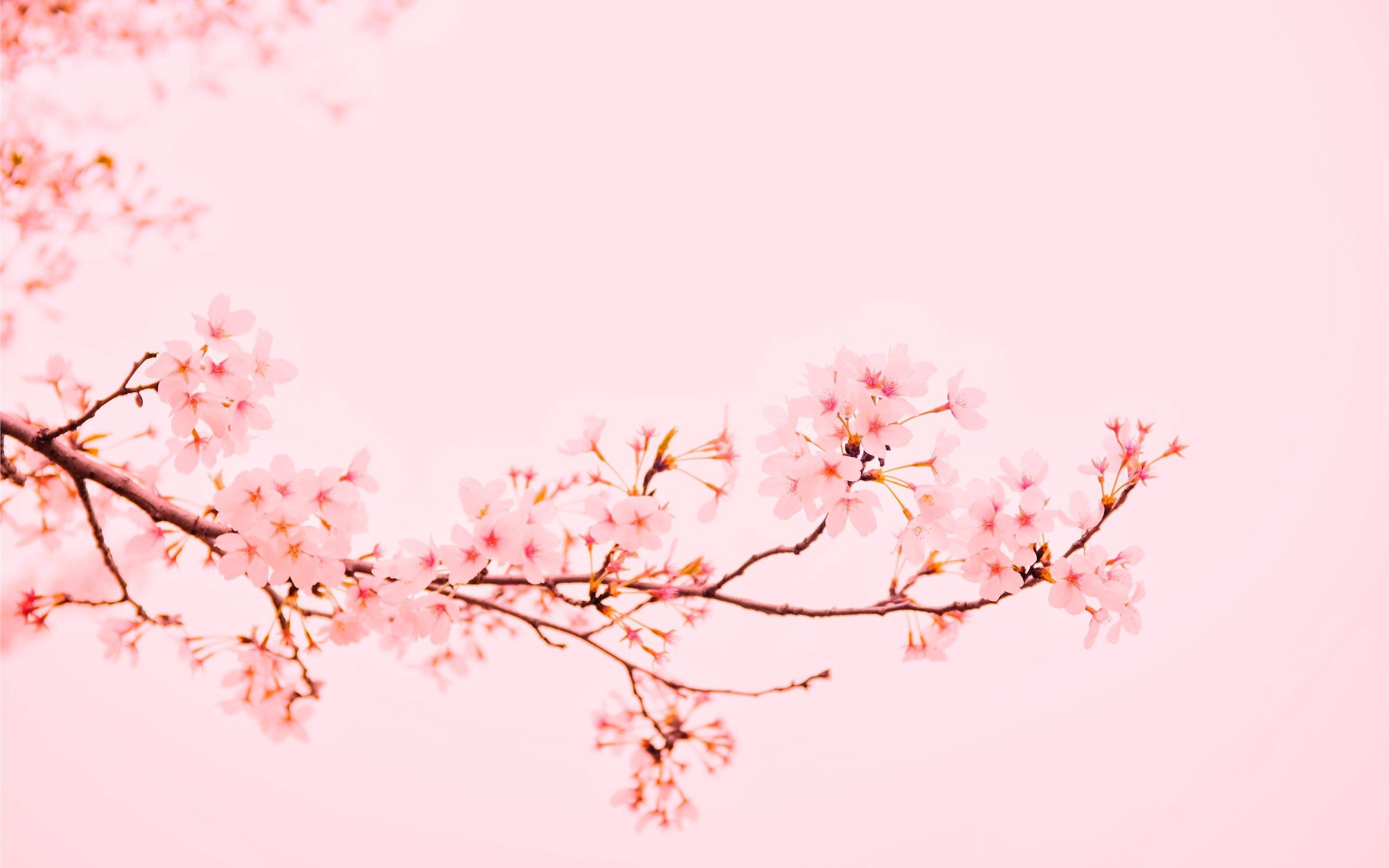 Pastel Aesthetic Cherry Blossom Wallpaper Hd Desktop   2560x1600 2560x1600