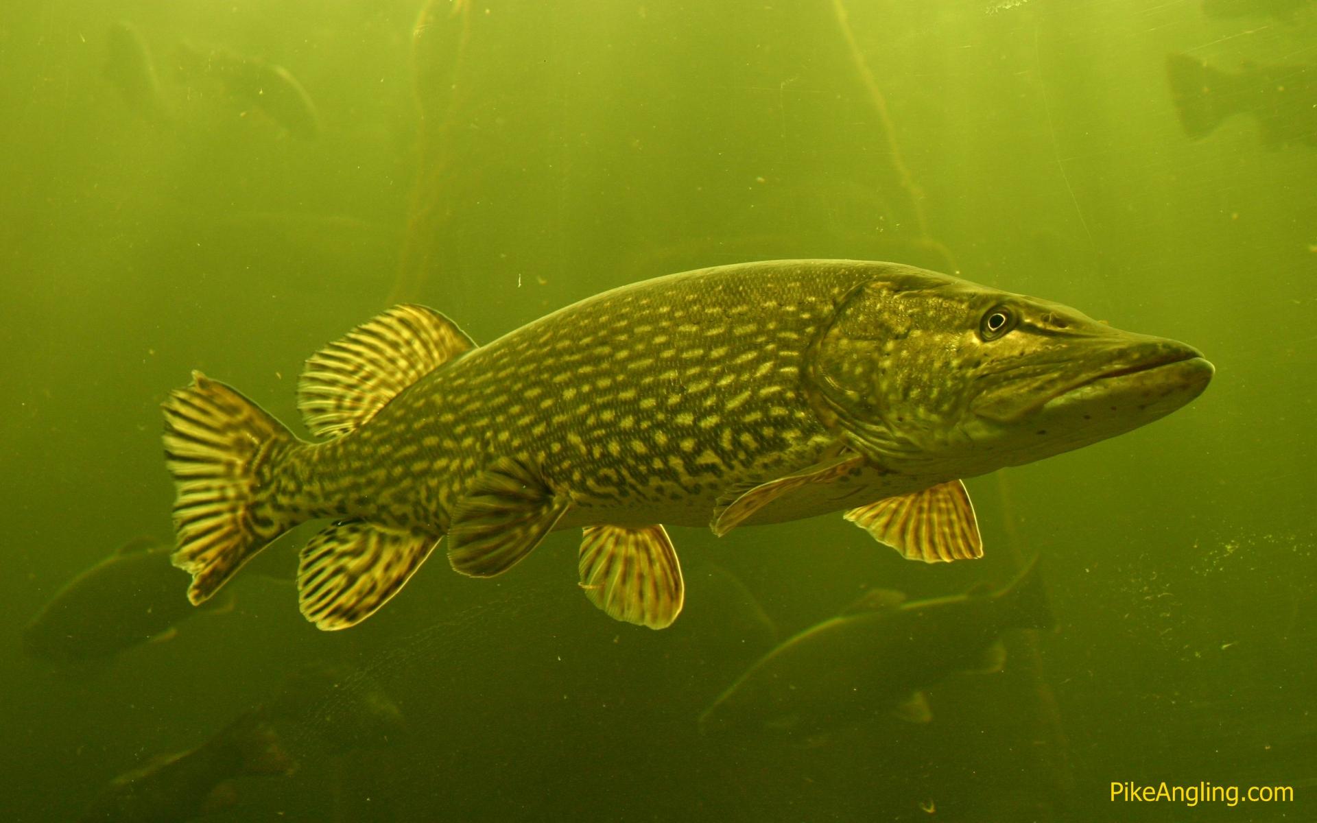 Pike Fishing wallpaper 118291 1920x1200