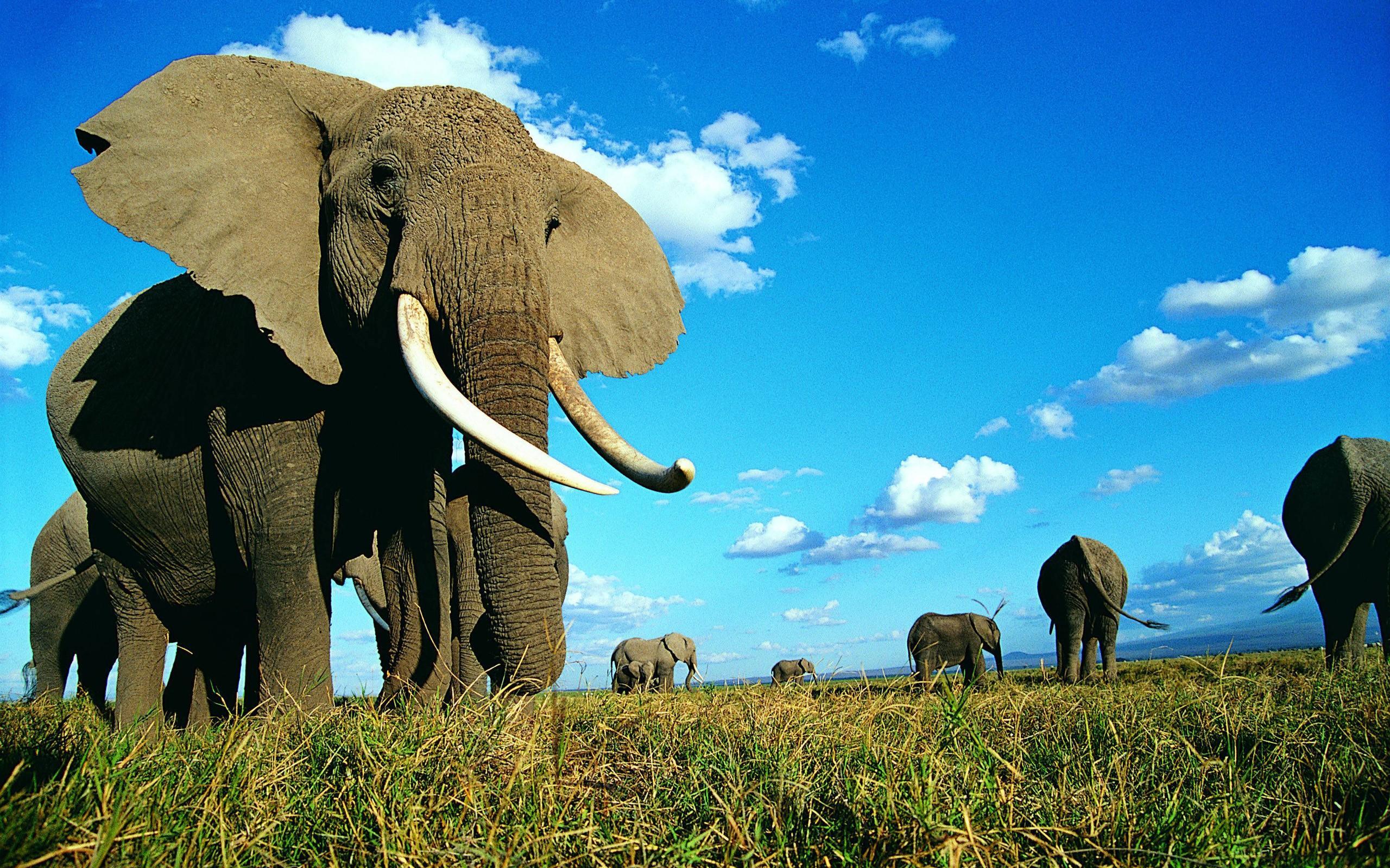Wallpaper download elephant - Indian Elephant Wallpaper Which Is Under The Elephant Wallpapers