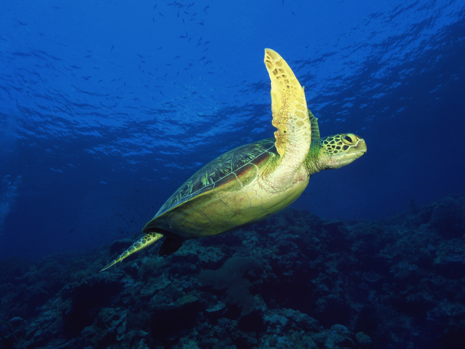 sea turtle desktop pc android iphone and ipad wallpapers and pictures 1600x1200