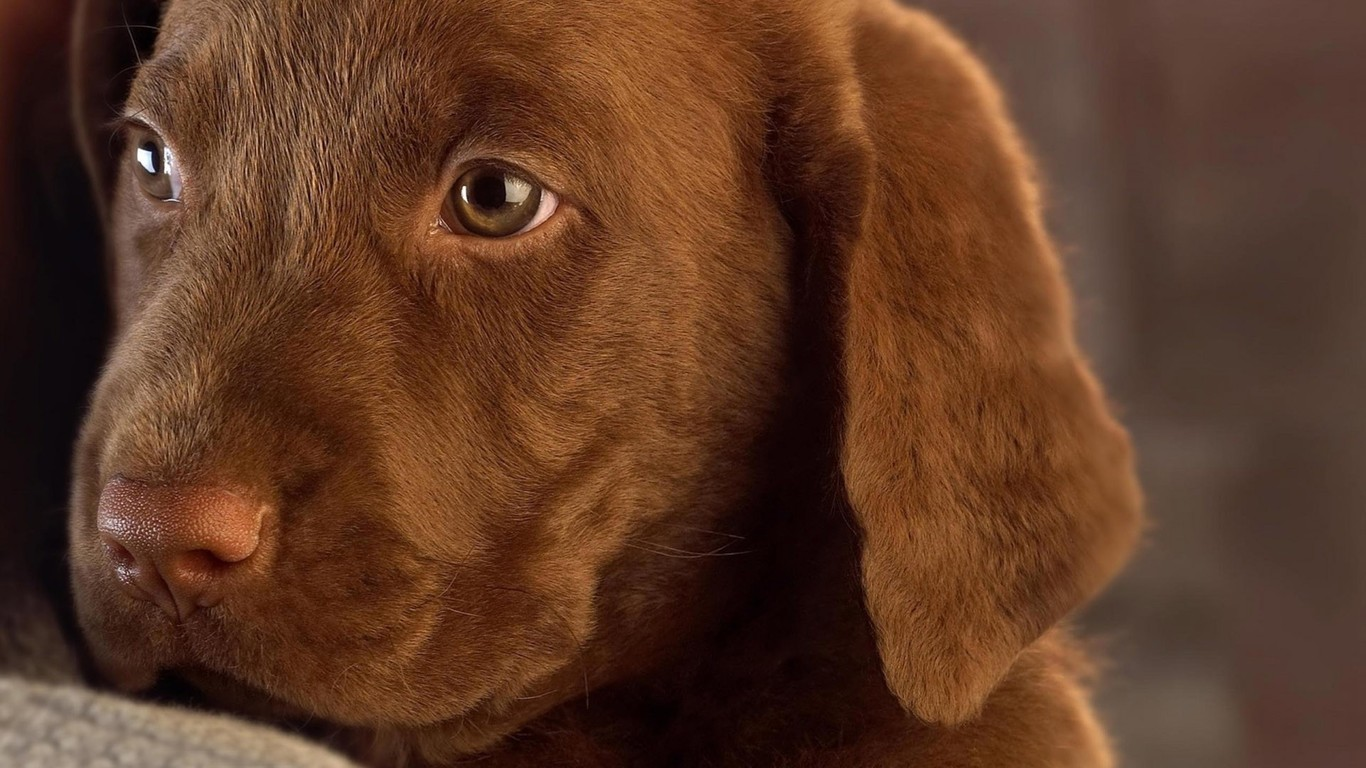 Brown labrador puppy wallpaper 9953 1366x768