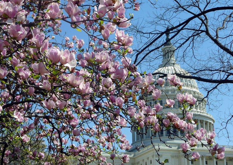 Washington Dc Cherry Blossom Wallpaper Wallpapersafari