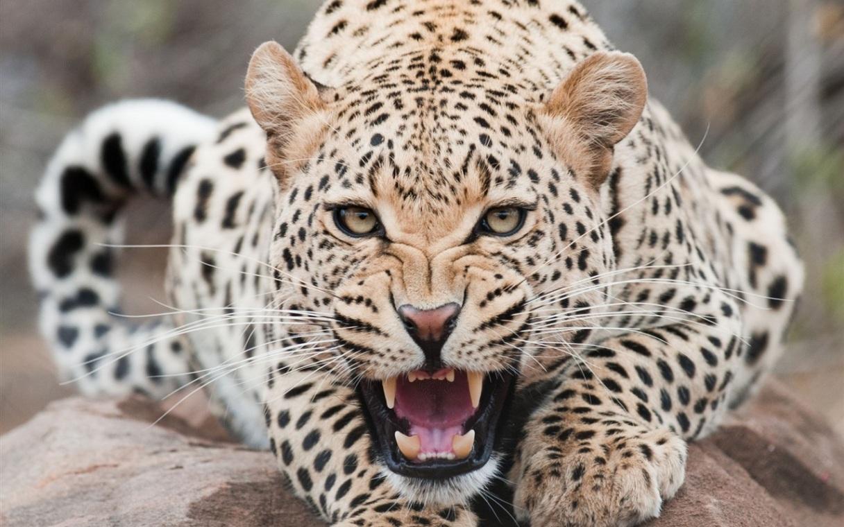 Snow Leopard Wallpaper   The Animal Life 1216x760