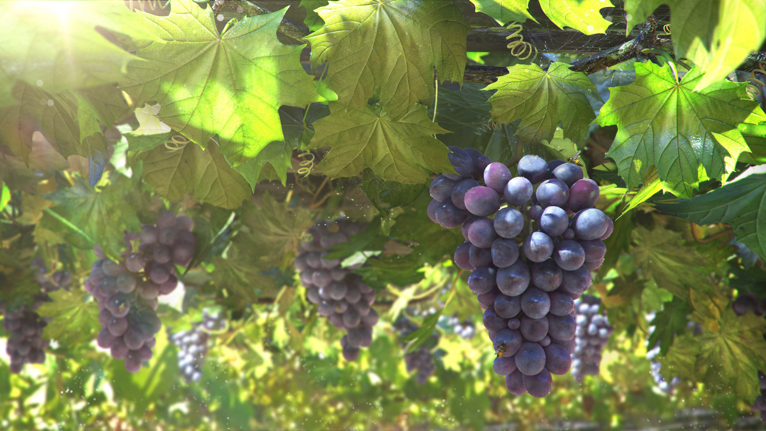 Grapes HD Wallpapers   THIS Wallpaper 2500x1406