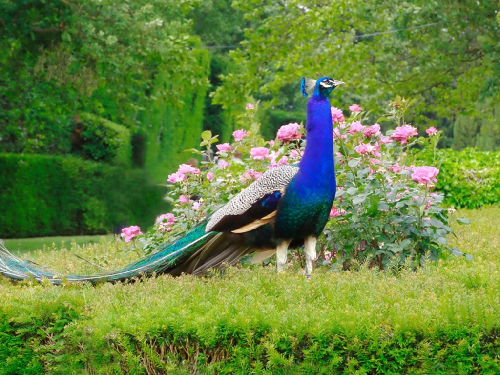 Peacock HD Wallpapers Pictures Images Backgrounds Photos 1024x768