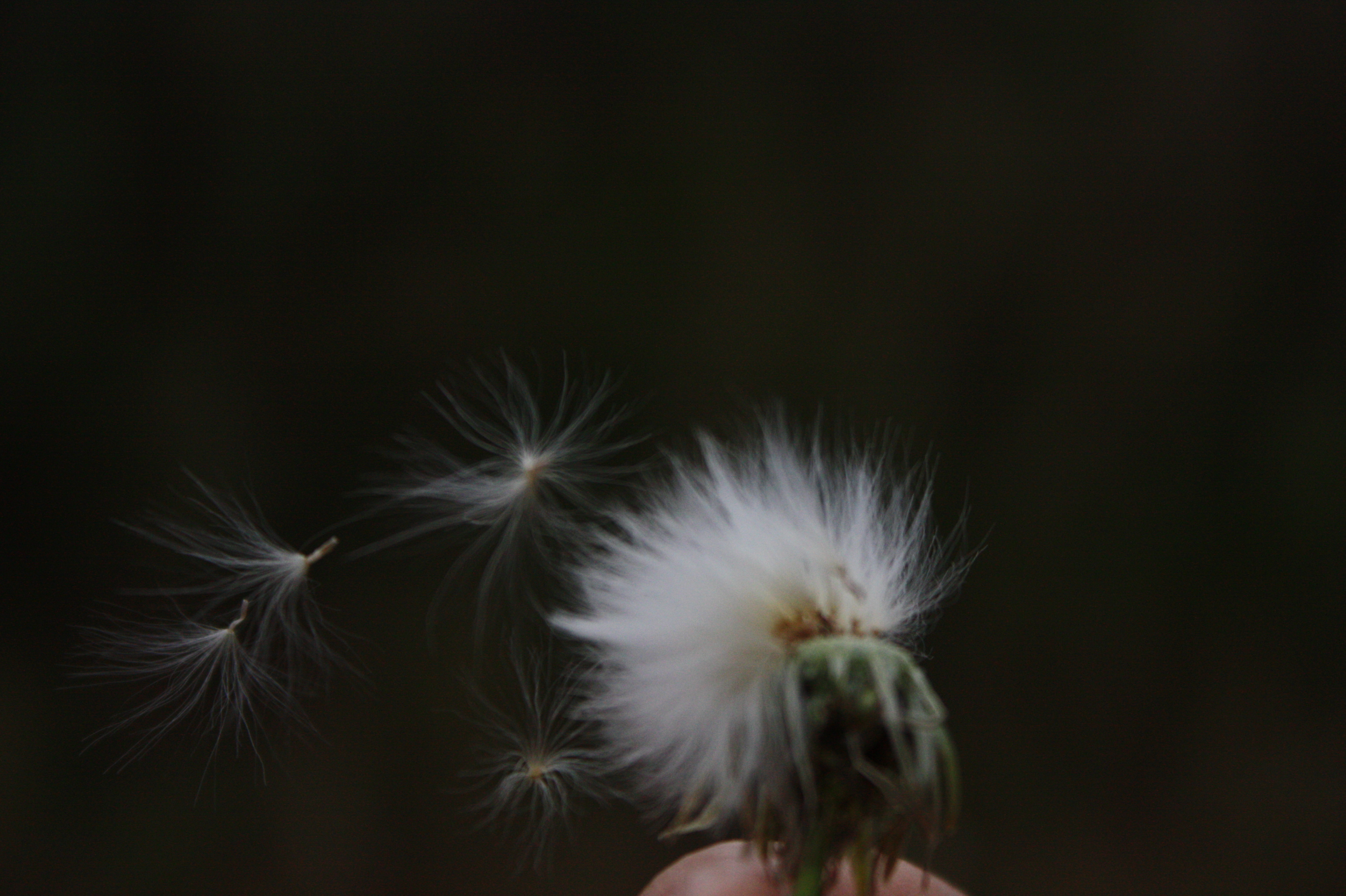 Hd Wallpapers Blowing Dandelion Wind 1280 X 720 221 Kb Jpeg | HD ...