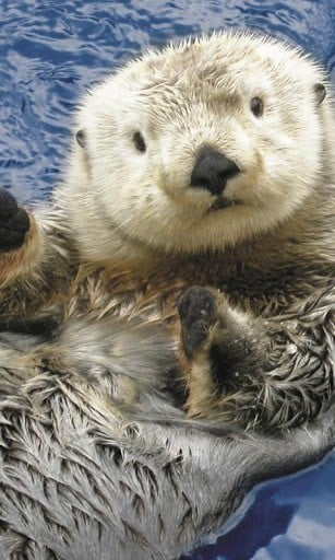 Download Sea otters HD live wallpapers for Android Appszoom