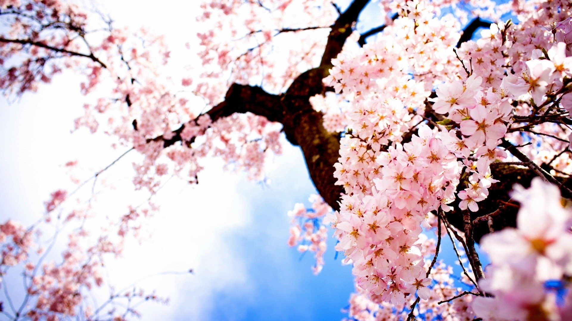 HD Wallpapers Landscape Images Sakura Fresh Airtree 1920x1080