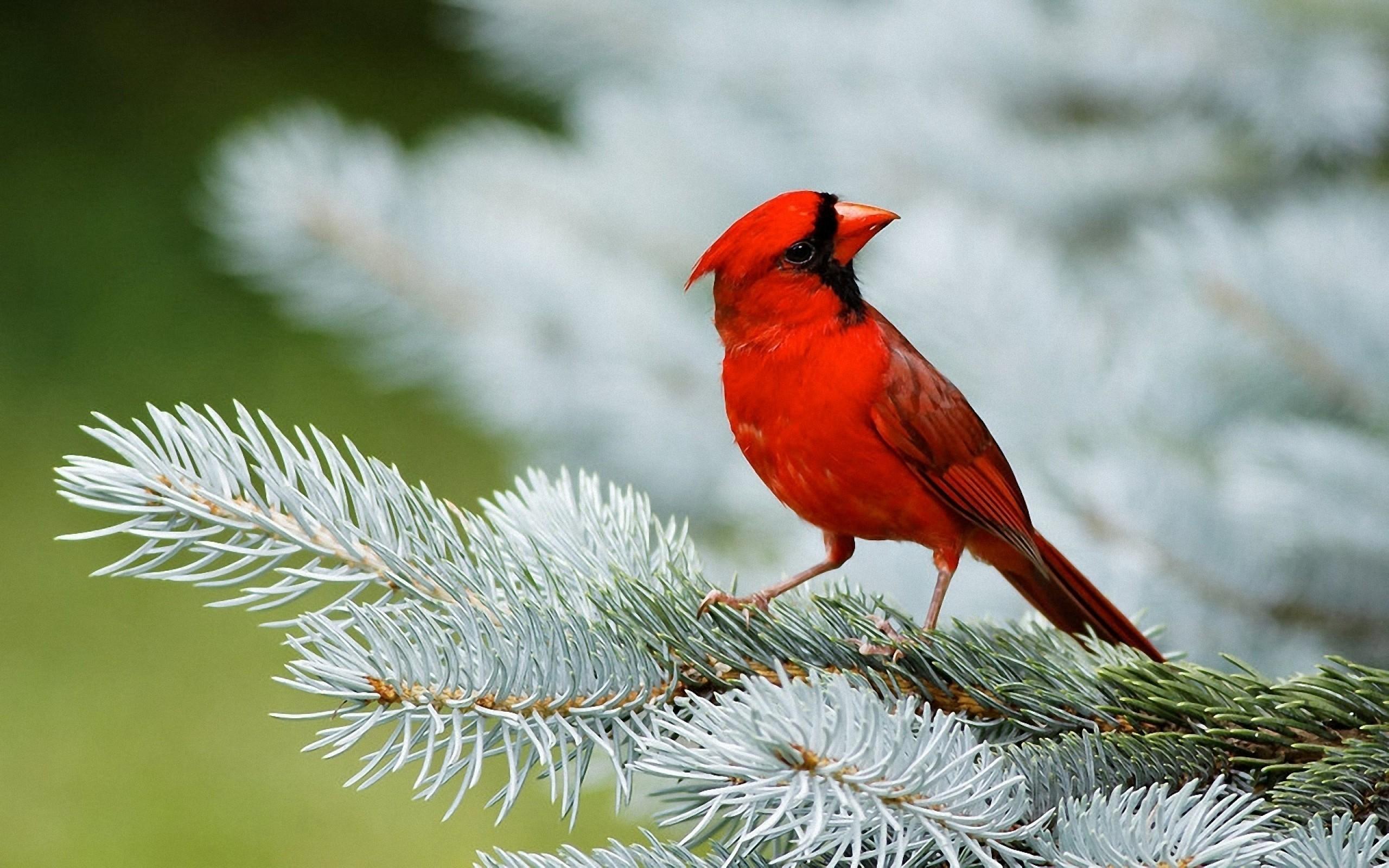 Bird Red Cardinal Wallpaper   Download Wallpaper Nature 2560x1600