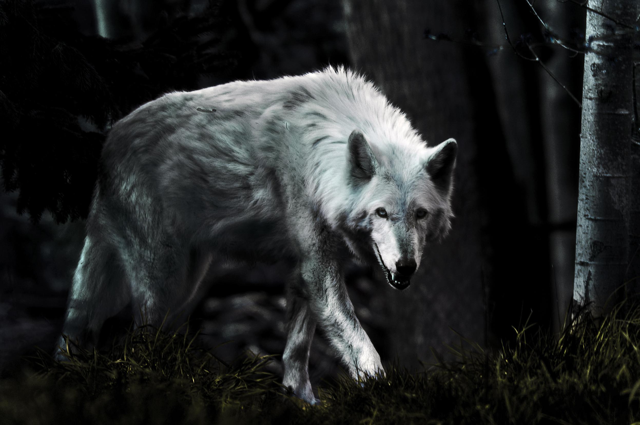Beautiful Wolf Wallpaper Wallpapersafari