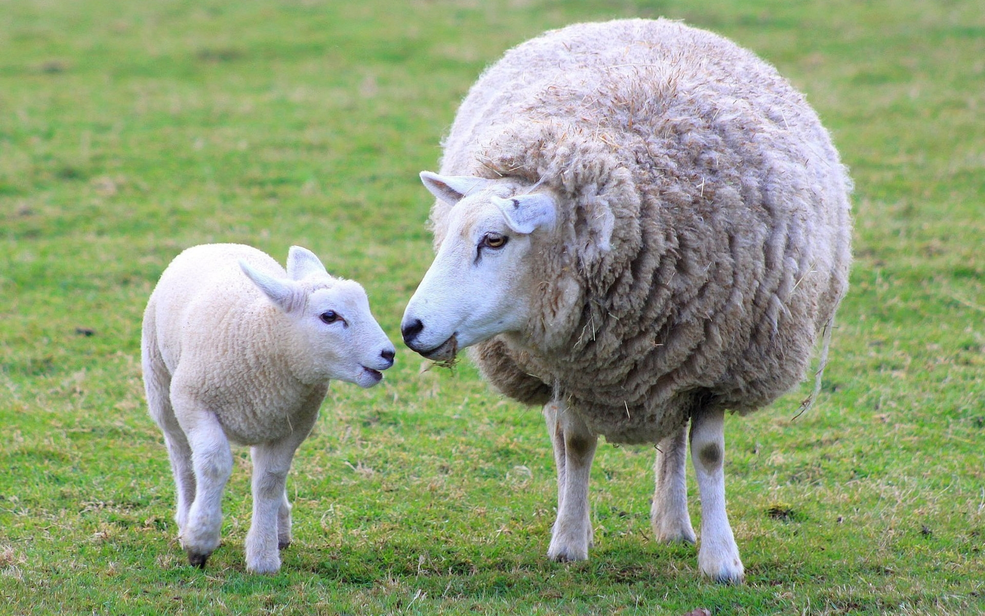 Free Download Sheep Images Ewe And Lamb Hd Wallpaper And Background Photos 1920x1200 For Your Desktop Mobile Tablet Explore 32 Sheep Wallpapers Sheep Wallpaper Sheep Wallpapers Hd Sheep Wallpaper