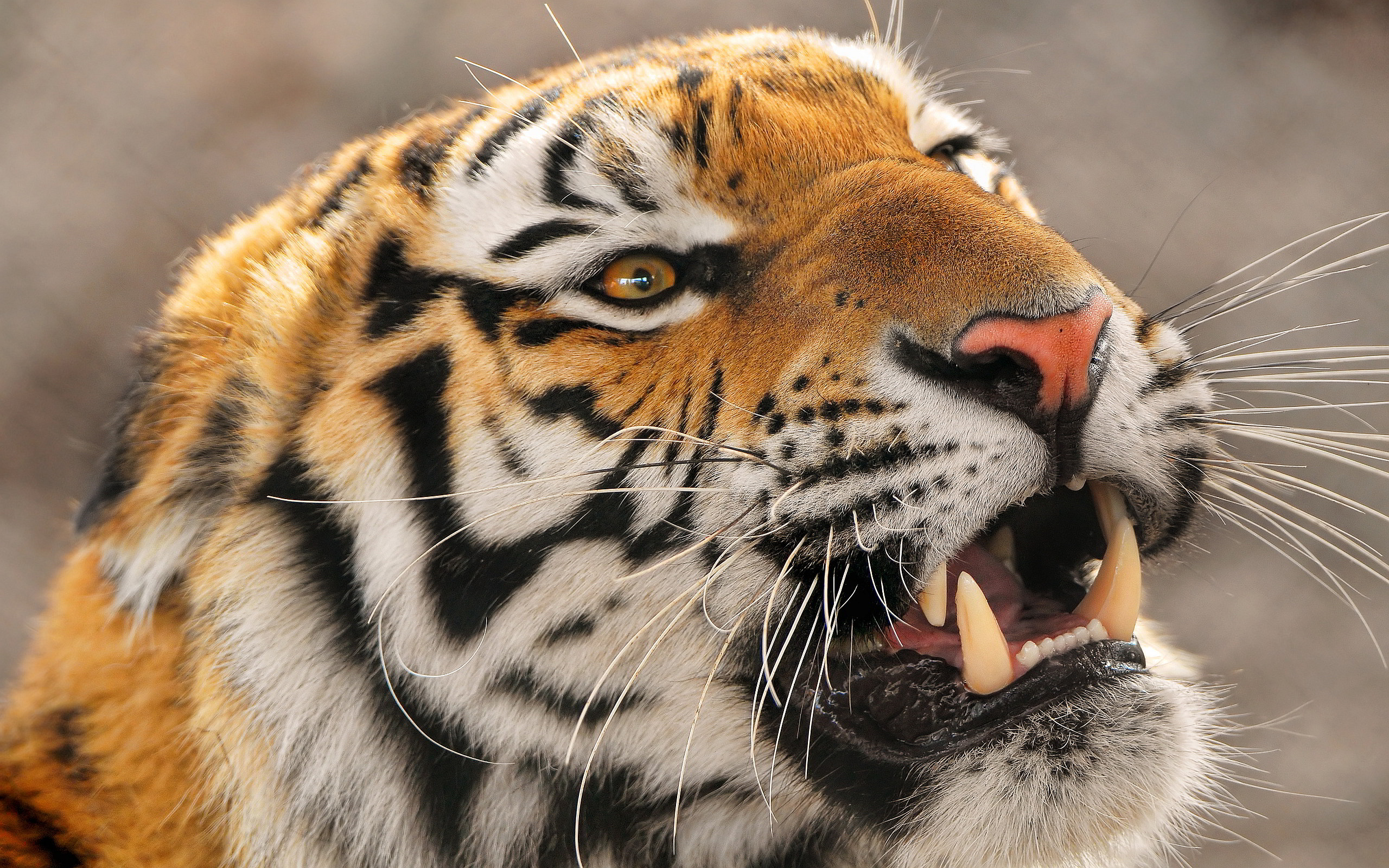 Free Download Angry Tiger Wallpapers Pictures Photos Images