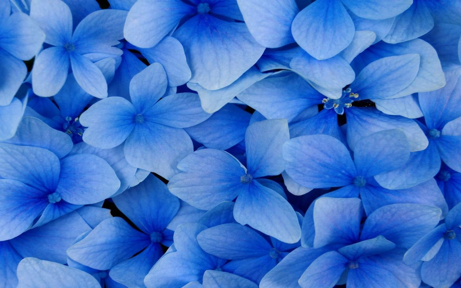 Black and White Wallpapers Close up Blue Flowers Blue 1600x1000