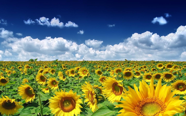 Sunflower field 1440x900 nature wallpaper 1440x900