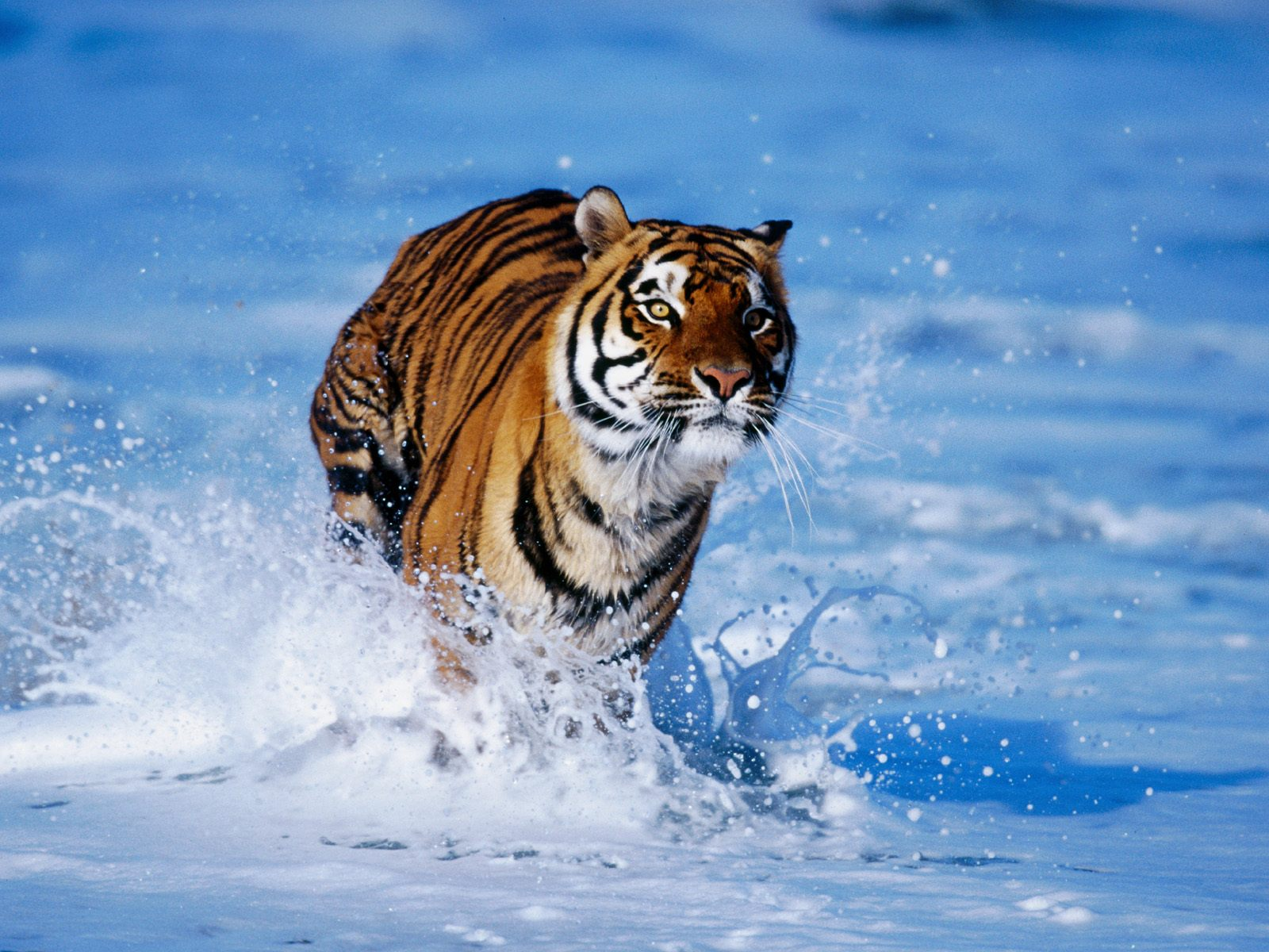 Tiger in Water Wallpapers HD Wallpapers 1600x1200