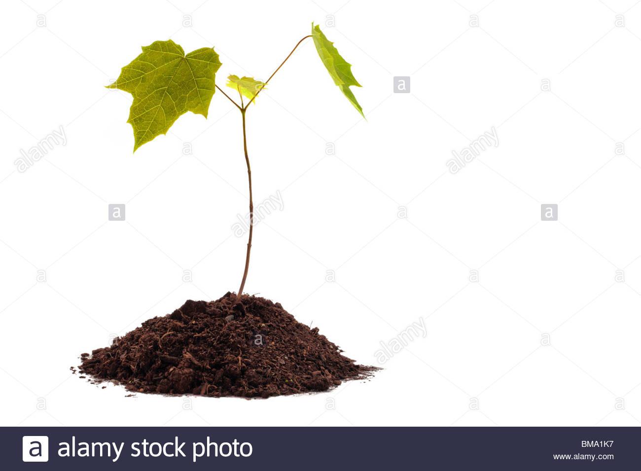 Maple sapling in soil on white background Stock Photo 29724331 1300x956