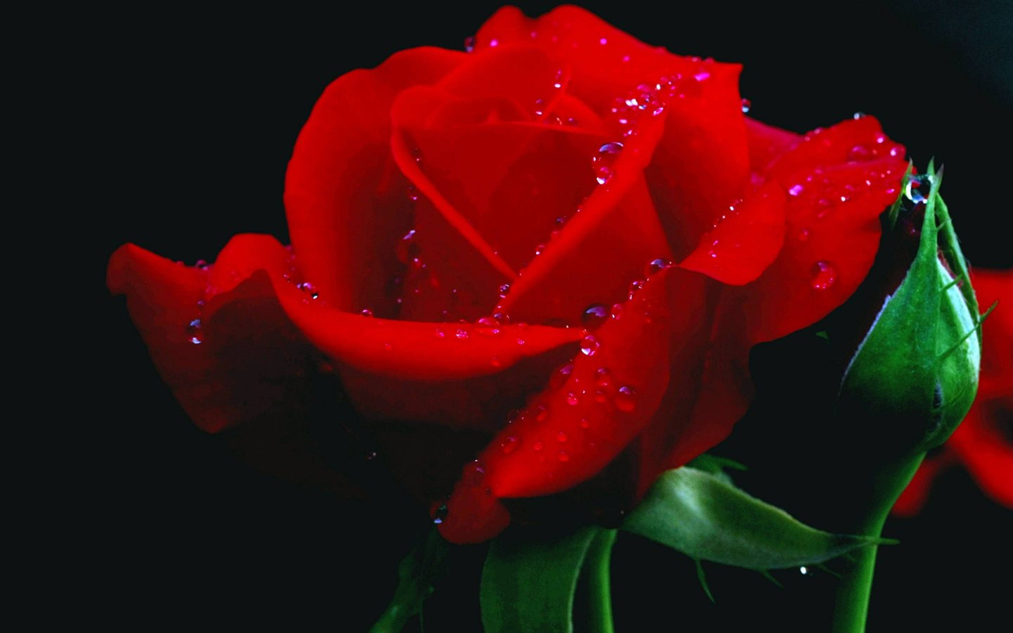 Red chinese rose flower hd wallpapers 1440x900 hd Plant wallpaper 1440x900