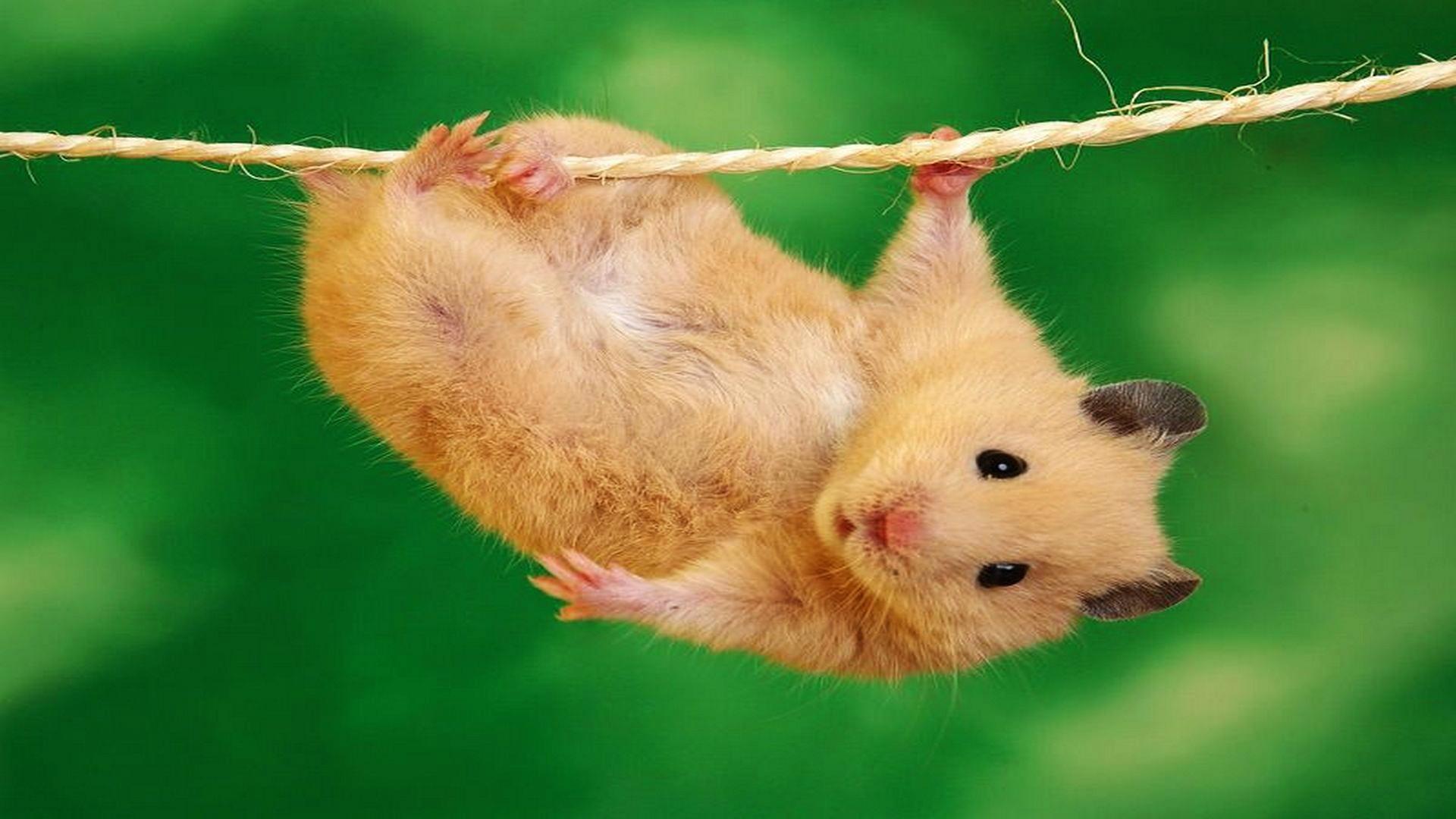 Pics Photos   Wallpapers Desktop Hamster Funny Image 1920x1080