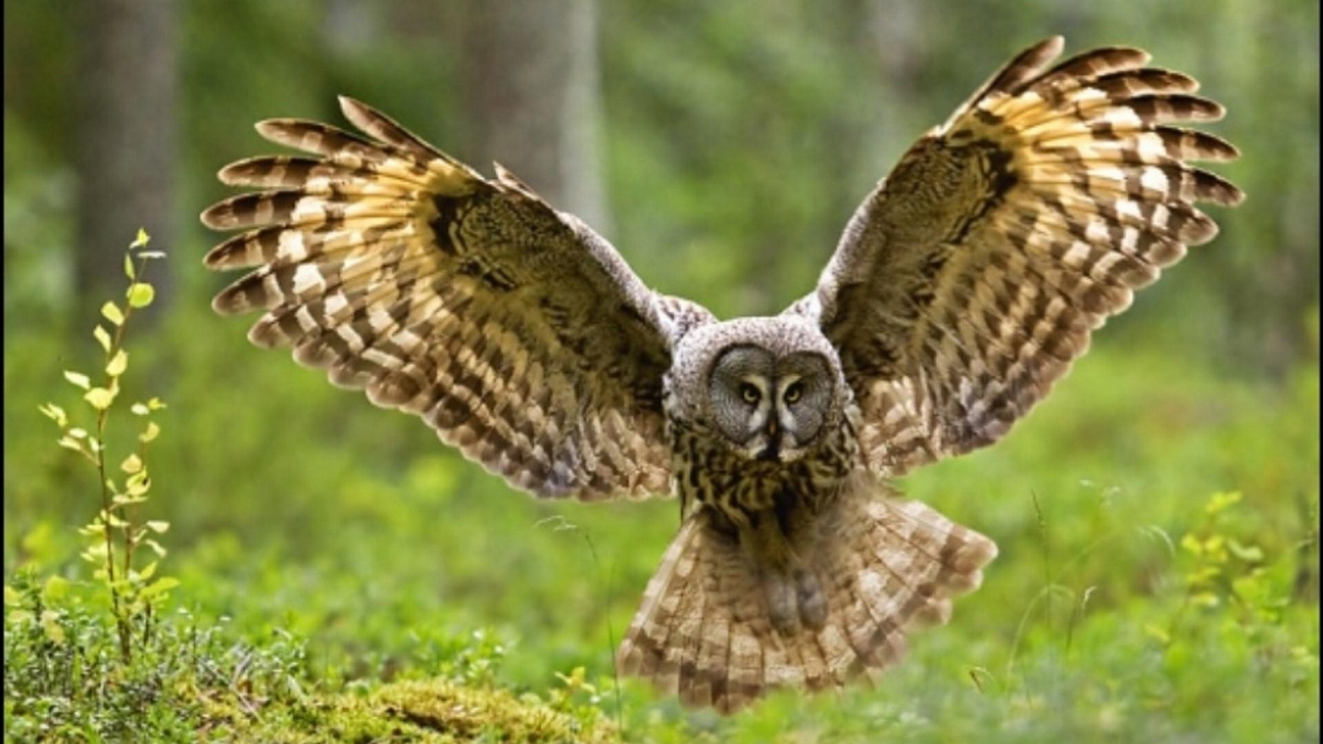 owl wings bird desktop backgrounds Car Tuning 1920x1080