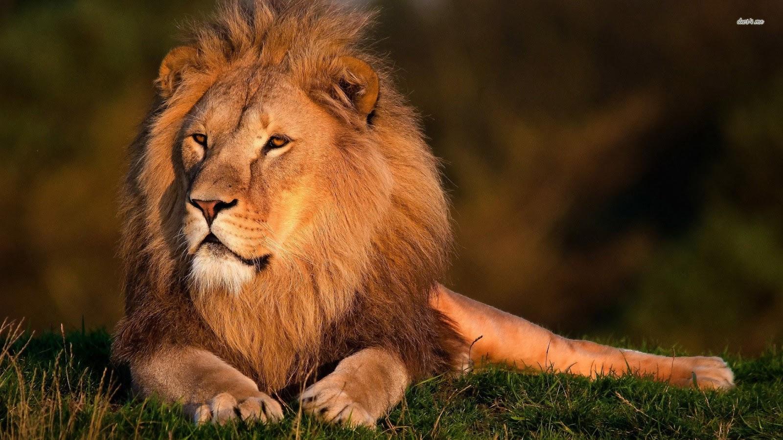 Hd Lion Pictures Lions Wallpapers: Lion Wallpaper HD