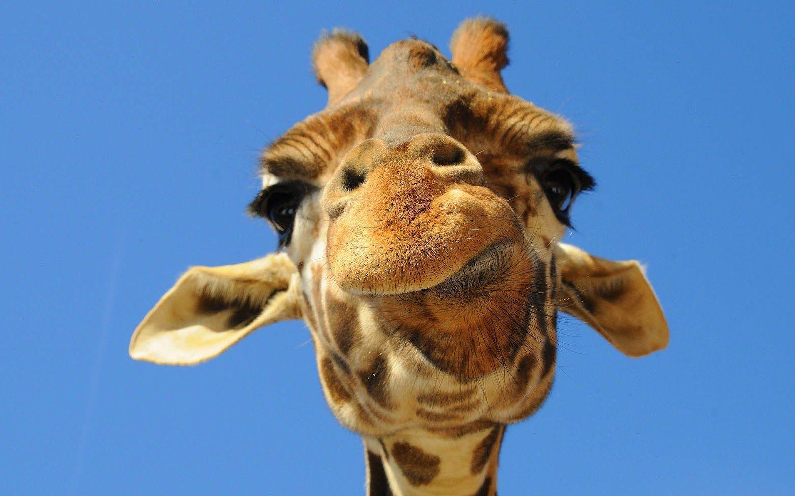 funny giraffe pictures portrait picture of a giraffe HD 1600x1000