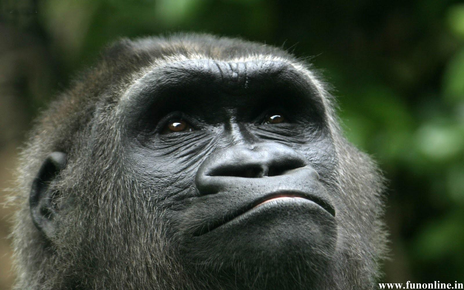 Gorilla Wallpapers Download Giant Gorillas HD Wallpaper 1600x1000